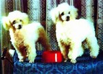 3D Lenticular POSTCARD - POODLES W/ Red DISH