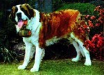 3D Lenticular POSTCARD - ST. BERNARD IN THE GA